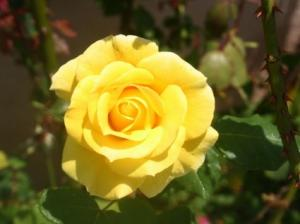 Photo of a beautiful yellow rose in full bloom.